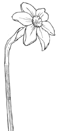 Finished Drawing of a Narcissus Flower